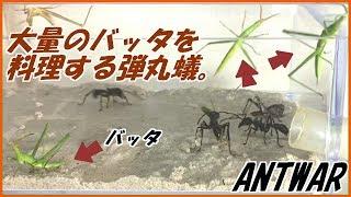 蟻戦争Ⅲ#51 大量のバッタを料理するパラポネラ。編~Bullet ants vs A lot of grasshoppers~