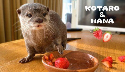 カワウソコタローとハナ イチゴをあげたらハナの料理が始まった Otter Kotaro&Hana She Washes Strawberries