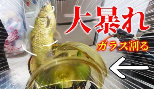フナを生きたまま煮る沖縄の伝統料理を作ってみた